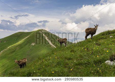 Tatra Chamois (rupicapra Rupicapra Tatrica) In A Natural Environment. Western Tatras. Poland.