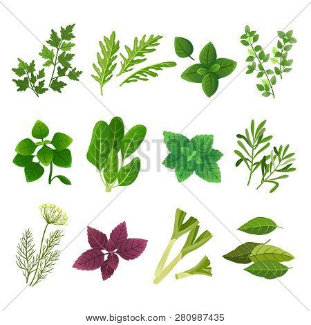 Herbs And Spices. Oregano Green Basil Mint Spinach Coriander Parsley Dill And Thyme. Aromatic Food H