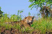 Jaguar, Panthera Onca, on a riverbank, Cuiaba River, Porto Jofre, Pantanal Matogrossense, Mato Grosso, Brazil South America poster