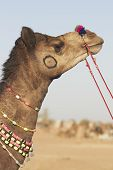 Head and neck of a camel at the Nagaur Cattle Fair in Rajasthan India poster