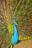 Royal turquoise peacock effectively posing in tropical park poster