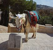 The white donkey in an ancient harness poses for tourists. Jerusalem, Christian quarter poster