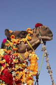 Head of a brightly decorated camel Nagaur Cattle Fair Rajasthan India poster