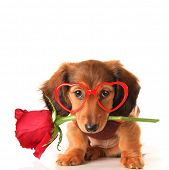 Longhair dachshund puppy dog, studio isolated on white wearing heart shaped Valentines day eyeglasses and holding a red rose. Valentine love concept, February 14.  poster