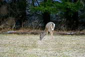 a deer eating grasses in the field by a forest poster