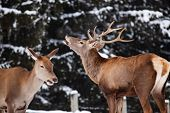 roe deer and noble deer stag in winter snow  poster
