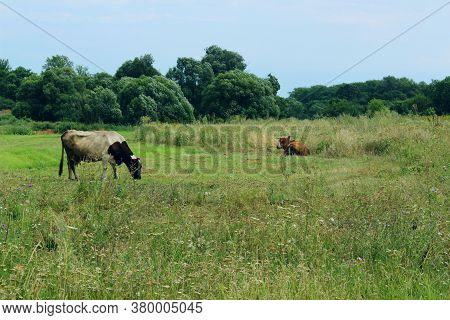 Cows Standing In Farm Pasture. Shot Of A Herd Of Cattle On A Dairy Farm. Nature, Farm, Animals Conce