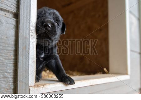 Week Old Newborn Terrier Puppies Browsing Around The Doghouse