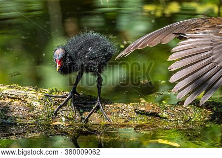 Little Common Moorhen Baby, Gallinula Chloropus Also Known As The Waterhen, The Swamp Chicken, And A