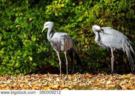 The Blue Crane, Grus Paradisea, Is An Endangered Bird Specie Endemic To Southern Africa. It Is The N