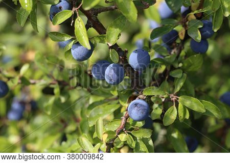 Blue Berries Of Blackthorn Ripen On Bushes