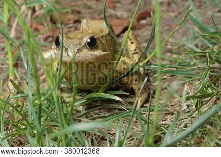 Head On Photo Through Grass Reveals A Common Green European Grass Frog Glistening And Looking At The