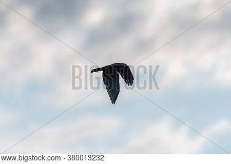 A Red-tailed Hawk Flapping Its Powerful Wings And Partially Silhouetted By The Morning Sunlight As I