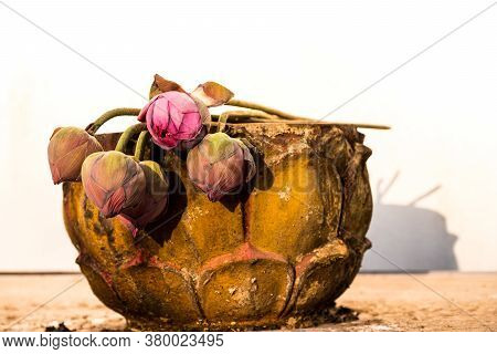 Withered Lotus