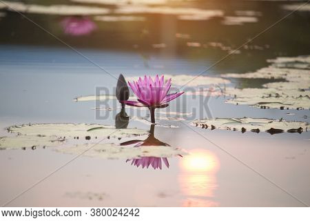 Pink Lotus Flowers Are Blooming With Sunset In The Evening, Surrounded By Green Lotus Leaves In The