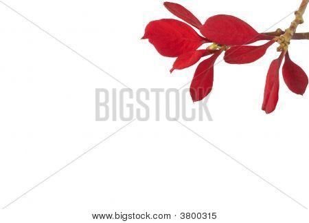 Beautiful Red Flowers On White
