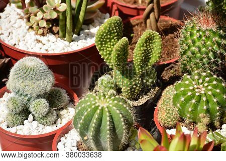 Green Cactus Plants Lucky Charm As Part Of Chinese Belief