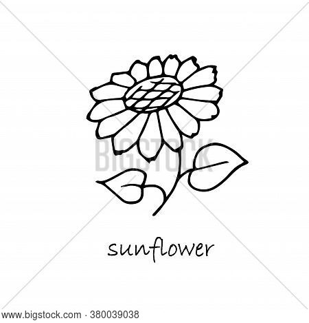 Sunflower Plant Sketch. Hand Drawn Ink Art Design Object Isolated Stock Vector Illustration For Web,