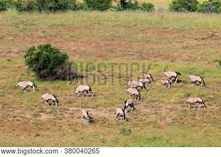 Gemsbok antelopes (Oryx gazella) in natural habitat, Mountain Zebra National Park, South Africa