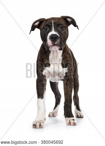 Young Brindle With White American Staffordshire Terrier Dog, Standing Facing Front, Looking At Camer