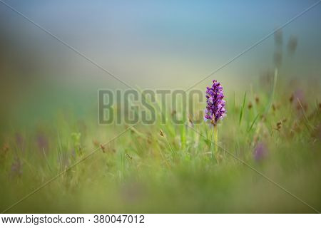 Orchis Morio. Nature Of The Czech Republic. Czech Orchids. Free Nature. Beautiful Picture. Plant. Su
