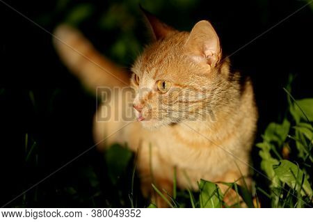 A Cute Ginger Read Head Cat With White Whiskers And Pink Tongue Sitting On The Dark Green Grass Back