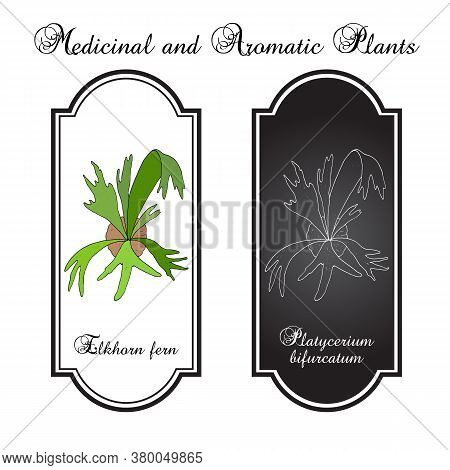 Staghorn Or Elkhorn Fern Platycerium Bifurcatum , Ornamental And Medicinal Plant. Hand Drawn Botanic