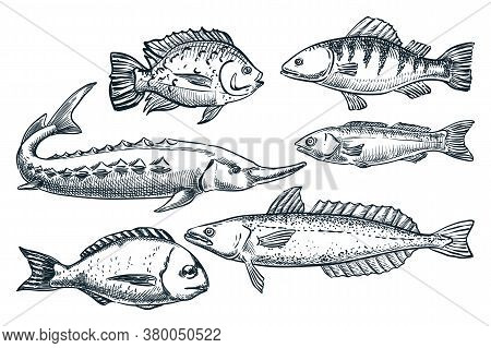 Sea Fishes Set, Isolated On White Background. Hand Drawn Sketch Vector Illustration. Seafood Market