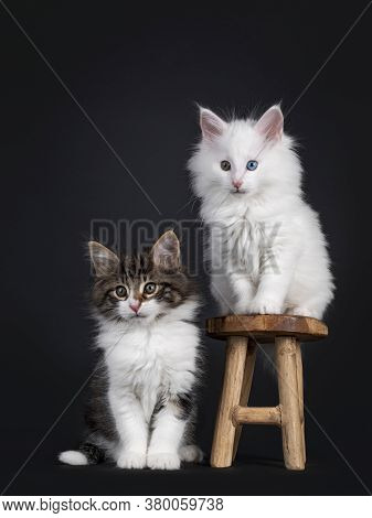 Cute Black Tabby Blotched With White And Solid White Odd Eyed Norwegian Forestcat Kittens, Sitting O