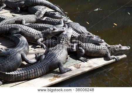 Alligators sunbathing