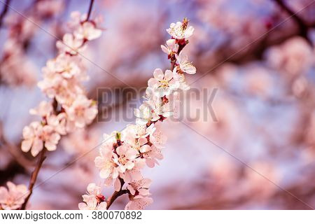 Blossoming Of The Apricot Tree In Spring Time With White Beautiful Flowers. Macro Image With Copy Sp