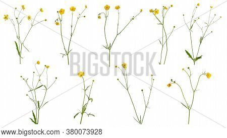 Many Stems Of Buttercup With Flowers And Leaves At Various Angles Isolated On White Background