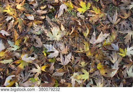 Dry Autumn Fallen Leaves Completely Cover The Ground