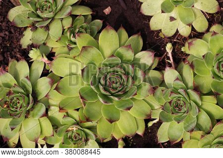 Green Plants Of Succulents And Sedum. Close-up. View From Above.
