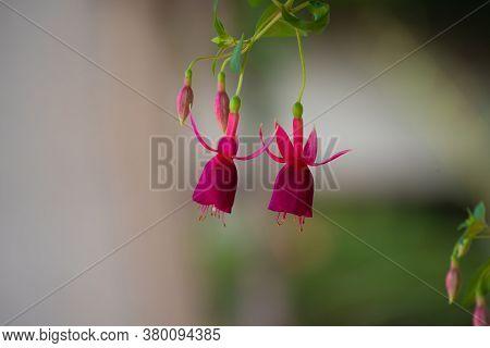 , Hummingbird Fuchsia Or Hardy Fuchsia, Bloom Green Red