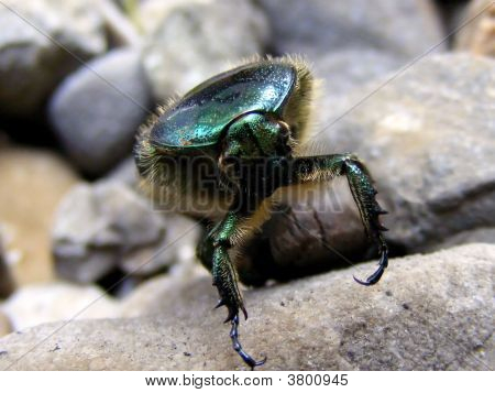 Extreme close up view of small beetle poster