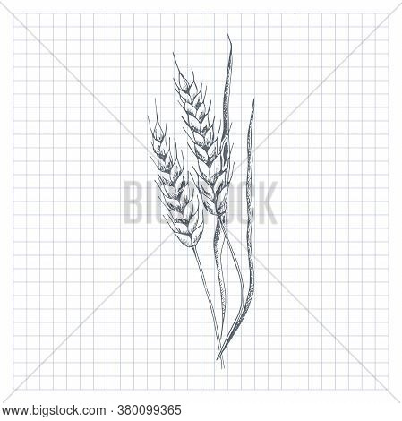 Wheat Sketch. Hand Drawn Spike Of Wheat. Sketch Style Vector Illustration, Isolated On White Backgro