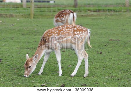 Juvenile Fallow Deer