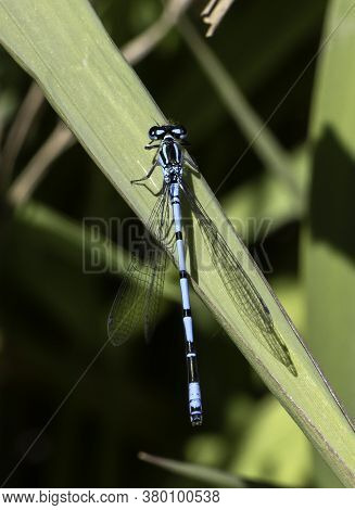 An Azure Damselfly (coenagrion Puella) Perched In Local Wetlands
