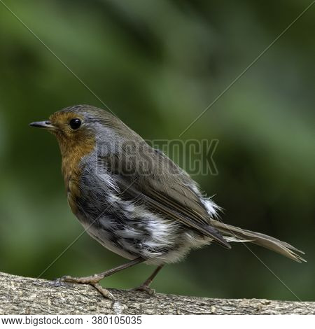 A Eurasian Robin Redbreast (erithacus Rubecula) Perched On A Branch In Local Woodlands