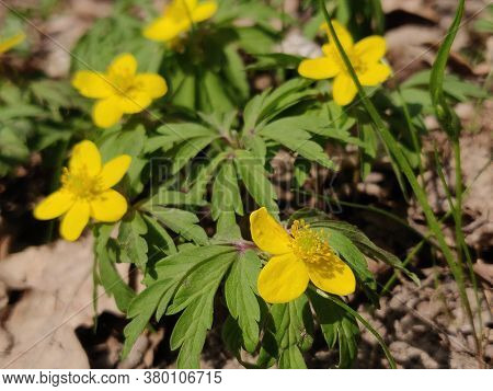 A Yellow Anemone Ranunculoides Flowers. Spring Blossom.