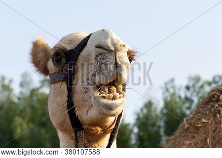Close-up Of A Desert Dromedary Camel Facial Expression Eating Showing In Middle East In The United A
