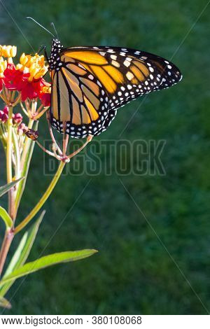 Monarch Butterfly Alit On A Tropical Milkweed Plant