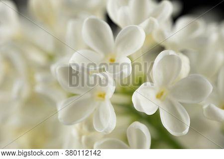 White Lilac Flowers. Blossom Of Syringa Vulgaris