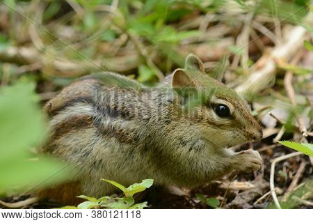 Spring Closeup On A North American Eastern Chipmunk, Busying Itself In A Shaded Woodland Habitat.