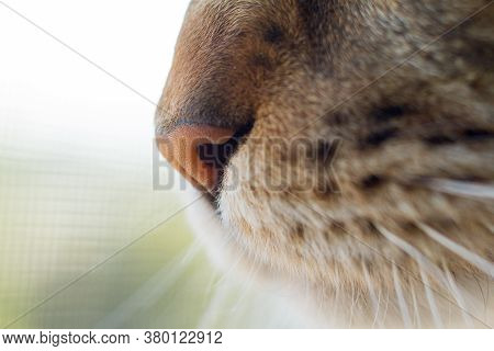 Extremely Close-up Portrait Of Domestic Tricolor Tabby Maine Coon Cat. Close-up Photo Of Maine Coon