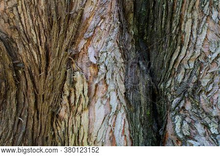 The Bark Of A Coastal Redwood, Sequoia Sempervirens, In Three Colors, Partly Covered With Moss- Text