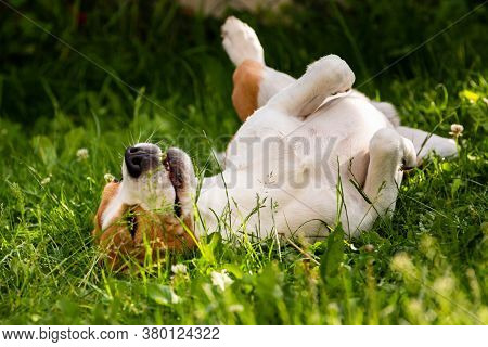 Tricolor Beagle Dog Rolling In Grass On Summer Day. Dog Behavior Theme.