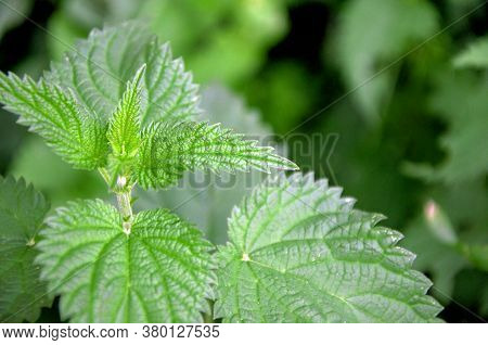 Stinging Nettles Or Urtica Medical Herb Close Up, Colorful And Vivid Plant, Natural Texture Or Backg