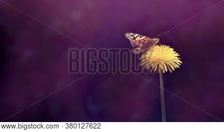 Butterfly On A Yellow Dandelion Flower. Close-up Of Flowers With Butterfly